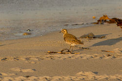 Golden Plover photographed at Jaonneuse [JAO] on 15/3/2014. Photo: © Rod Ferbrache