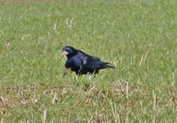 Rook photographed at Mt. Herault [MHE] on 22/3/2014. Photo: © Tracey Henry