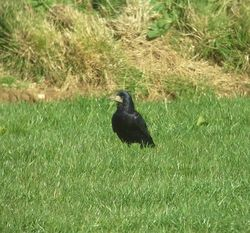 Rook photographed at Pleinmont [PLE] on 23/3/2014. Photo: © Mark Guppy