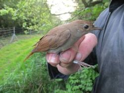 Nightingale photographed at Alderney [ALD] on 21/4/2014. Photo: © Christopher Mourant
