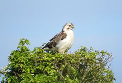 Buzzard photographed at Rue des Hougues, STA on 24/5/2014. Photo: © Wayne Turner