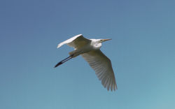Great White Egret photographed at Rue des Bergers [BER] on 7/6/2014. Photo: © Dan Scott