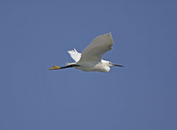 Little Egret photographed at Fort Doyle [DOY] on 16/6/2014. Photo: © Mike Cunningham