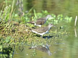 Green Sandpiper photographed at Rue des Bergers [BER] on 14/7/2014. Photo: © Royston Carr�