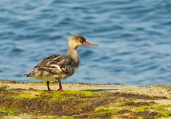 Red-breasted Merganser photographed at Havelet [HAV] on 4/8/2014. Photo: © Anthony Loaring