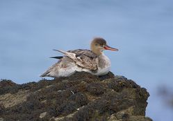 Red-breasted Merganser photographed at Havelet [HAV] on 5/8/2014. Photo: © Royston Carr�
