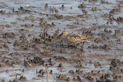 Dunlin photographed at Claire Mare [CLA] on 6/8/2014. Photo: © Jason Friend