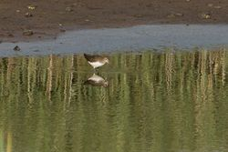 Green Sandpiper photographed at Claire Mare [CLA] on 6/8/2014. Photo: © Jason Friend