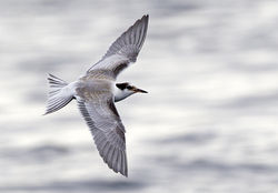 Common Tern photographed at Pelagic [PEL] on 24/8/2014. Photo: © Anthony Loaring