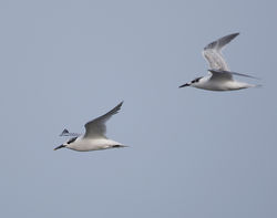 Sandwich Tern photographed at Fort Le Crocq [FLC] on 28/8/2014. Photo: © Mike Cunningham