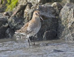 Dunlin photographed at L'Eree [LER] on 17/9/2014. Photo: © Mike Cunningham