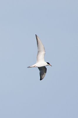 Common Tern photographed at Perelle [PER] on 1/11/2014. Photo: © J Friend