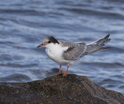 Common Tern photographed at Fort Le Crocq [FLC] on 3/11/2014. Photo: © Mike Cunningham