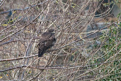 Buzzard photographed at Fauxquets Valley [FAU] on 24/2/2015. Photo: © Jason Friend