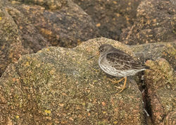 Purple Sandpiper photographed at Grandes Rocques [GRO] on 8/3/2015. Photo: © Anthony Loaring