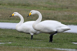 Whooper Swan photographed at Colin Best NR [CNR] on 3/4/2015. Photo: ©  Rockdweller
