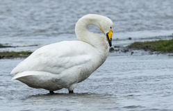 Whooper Swan photographed at Colin Best NR [CNR] on 3/4/2015. Photo: © Anthony Loaring