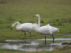 Whooper Swan photographed at Colin Best NR [CNR] on 3/4/2015. Photo: © Royston Carr�