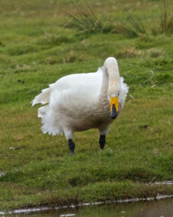 Whooper Swan photographed at Colin Best NR [CNR] on 3/4/2015. Photo: © Cindy  Carre