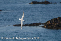 Sandwich Tern photographed at Perelle [PER] on 9/4/2015. Photo: © Jason Friend