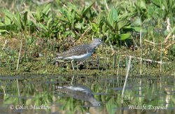 Green Sandpiper photographed at Rue des Bergers [BER] on 9/4/2015. Photo: © Colin Mucklow