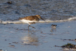 Dunlin photographed at Richmond [RIC] on 18/4/2015. Photo: © Rod Ferbrache