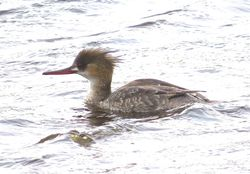 Red-breasted Merganser photographed at Claire Mare [CLA] on 18/4/2015. Photo: © Mark Guppy