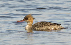 Red-breasted Merganser photographed at Claire Mare [CLA] on 18/4/2015. Photo: © Anthony Loaring