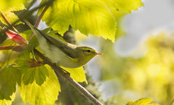 Wood Warbler photographed at St Peters Church [SP2] on 23/4/2015. Photo: © Anthony Loaring