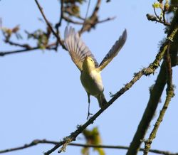 Wood Warbler photographed at St.Peters Chuch on 23/4/2015. Photo: © Vic Froome