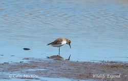 Dunlin photographed at Select location on 28/4/2015. Photo: © Colin Mucklow