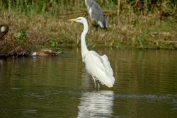 Great White Egret photographed at Rue de Bergers N.R. on 2/8/2015. Photo: © karl robins