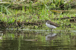 Green Sandpiper photographed at Rue des Bergers [BER] on 14/8/2015. Photo: © Rod Ferbrache
