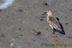 Dunlin. Photo: © Andy Marquis