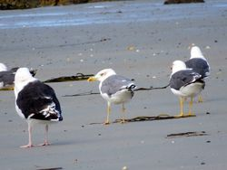 Yellow-legged Gull photographed at L'Eree [LER] on 12/9/2015. Photo: © Mark Guppy
