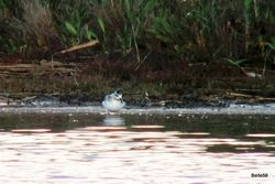Grey Phalarope photographed at Claire Mare [CLA] on 14/9/2015. Photo: © C. Bollen