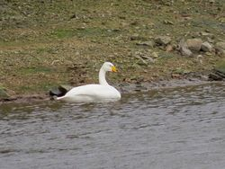 Whooper Swan photographed at Reservoir [RES] on 29/11/2015. Photo: © Mark Guppy