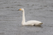 Whooper Swan photographed at Reservoir [RES] on 29/11/2015. Photo: © Rod Ferbrache