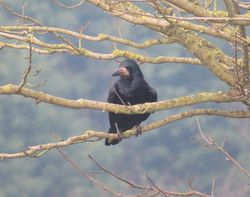 Rook photographed at Rue des Hougues, STA [H04] on 13/3/2016. Photo: © Wayne Turner