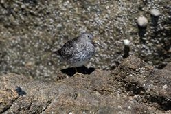 Purple Sandpiper photographed at Humps on 18/4/2016. Photo: © Vic Froome