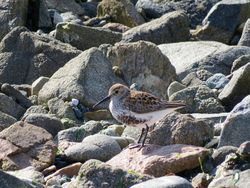 Dunlin photographed at Portinfer [POR] on 3/5/2016. Photo: © Mark Guppy