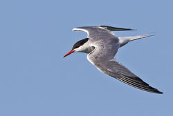 Common Tern photographed at Fort Doyle [DOY] on 3/8/2016. Photo: © Anthony Loaring