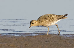 Golden Plover photographed at Claire Mare [CLA] on 30/8/2016. Photo: © Anthony Loaring