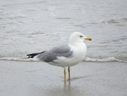 Yellow-legged Gull photographed at L'Eree [LER] on 20/9/2016. Photo: © Mark Guppy