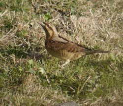 Wryneck photographed at jerbourg on 23/9/2016. Photo: © lorna harborow