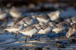 Sanderling photographed at Grandes Rocques [GRO] on 31/12/2016. Photo: © Andy Marquis