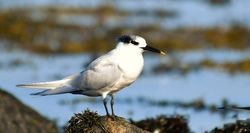 Sandwich Tern photographed at grande harve on 18/2/17. Photo: © Adrian Bott
