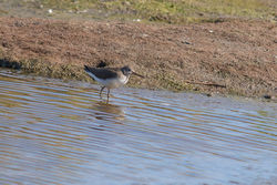 Green Sandpiper photographed at Claire Mare [CLA] on 10/8/2017. Photo: © Rod Ferbrache