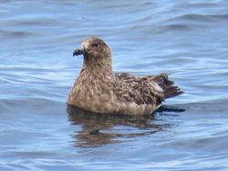 Great Skua photographed at Pelagic [PEL] on 14/8/2017. Photo: © Wayne Turner