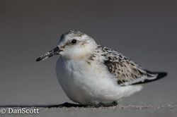 Sanderling photographed at Jaonneuse [JAO] on 22/10/2017. Photo: © Dan Scott
